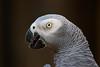 African Grey Parrot (Peter Nijenhuis) Tags: bali indonesia africangreyparrot 500d ef70300mmf456isusm psittacuserithacus tamanburungbalibirdpark peternijenhuis