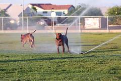 (djtino) Tags: las vegas dog milan love dj peace pit bulls cesar pitbulls sanchez tino apbt whisperer djtino