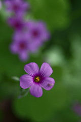 oxalis -  (turntable00000) Tags: park pink flower japan bug insect tokyo purple sony turntable 365  oxalis nerima  shakujii nex     turntable00000