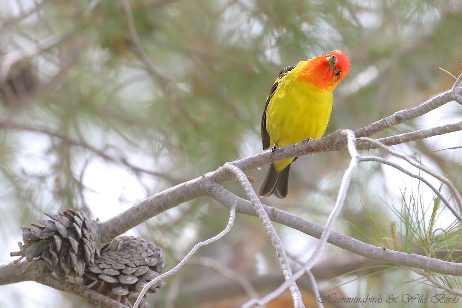 Western Tanager 05211111-4