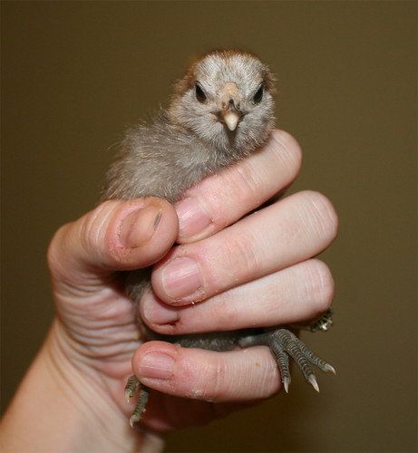A teeny fluffy grey-brown chicken, cradled in my hand.  He is staring directly at the camera in a sort of unsettling way that suggests he will peck you if you get out of line.  And he will, because he is like that.  I have been pecked by this tiny, tiny chicken more times than I care to think about.