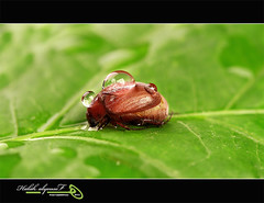 ( leaf Beetle ) (Halah Al-yousef ||||) Tags: macro canon insect lens eos is beetle drop 100mm 7d l ef 128  eaf halah            alyousef  aboveandbeyondlevel1