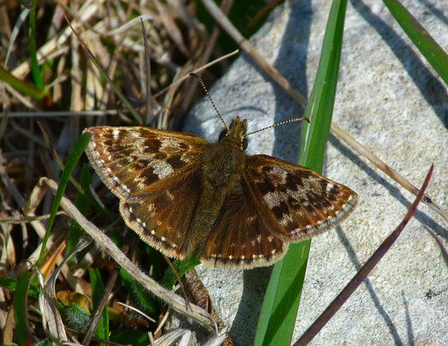 Dingy Skipper (Erynnis tages) by Peter Orchard