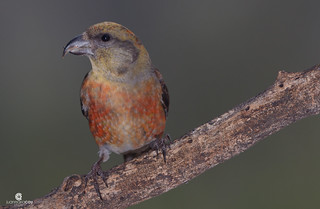 In the dark... Red crossbill (Loxia curvirostra) - Piquituerto común (Loxia curvirostra)