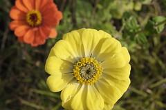 (Daniel Menzies) Tags: zinnia flower wildflowers petals plants nature macro flowers garden fujixe1
