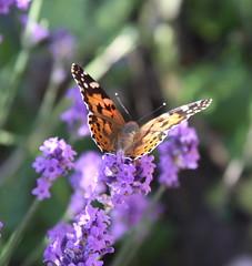 Cynthia cardui on Lavender (Alexandre Dulaunoy) Tags: macro butterfly lavender papillon cynthiacardui belledame vanesseduchardon taxonomy:binomial=cynthiacardui