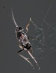 Ensign Wasp (zxgirl) Tags: night bug insect wasp flash insects bugs wasps mybackyard s5 hymenoptera dcr250 raynox apocrita img4552 ensignwasps evaniidae ensignwasp evanioidea parasiticapocrita