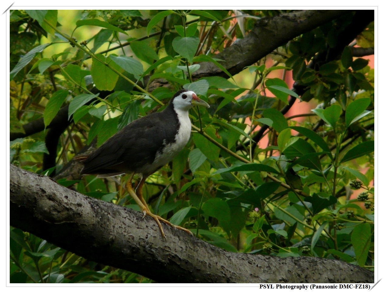 White-breasted Waterhen (Amaurornis phoenicurus) - 白腹秧雞
