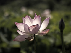 Focus Lotus  (olvwu | ) Tags: plant flower lotus bokeh farm taiwan ntu taipei bud laef lotusflower nelumbonaceae taipeicounty nelumbo sindian jungpangwu oliverwu oliverjpwu nelumbonucifera ntufarm proteales nelumbonuciferagaertn olvwu eastindianlotus sindiancity jungpang ntuangkangfarm