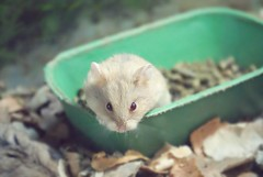 you will, won't you? you promised (Orioon ) Tags: hamster cuteeyes howfun