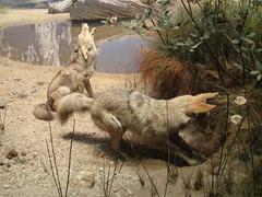 Coyotes (IslesPunkFan) Tags: coyote ny newyork animals museum mammal amnh americanmuseumofnaturalhistory canislatrans prairiewolf americanjackel