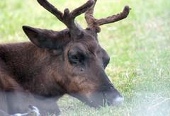 Woodland Caribou (DianesDigitals) Tags: reindeer caribou torontozoo woodlandcaribou rangifertarandus dianesdigitals