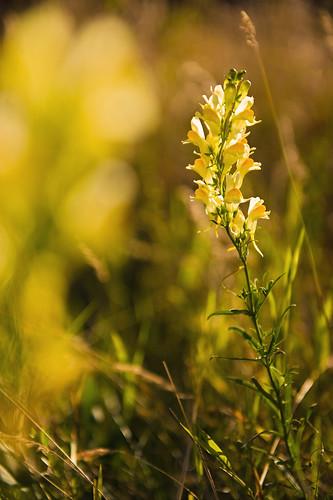 Linaria vulgaris (_DSC4922)