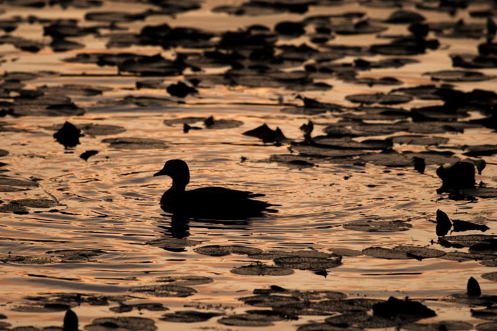 Blue winged teal at sunset, Juanita bay park