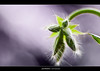 Peluda (patximadina) Tags: flower macro canon hair eos purple bokeh flor frame tamron90mm lorea morado pelitos 50d