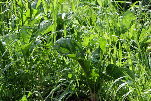 silverbeet in the grass