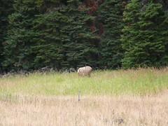 Bull Elk (Nicholas Rinaldi) Tags: nature hiking yellowstonenationalpark yellowstone grandtetons tetons nationalparks