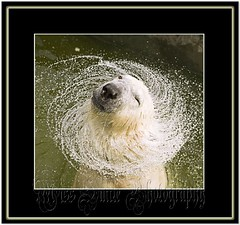 The Fountain of Fun (MissSmile) Tags: bear wild nature water fountain animals fun nose zoo drops funny framed creative polarbear swirl splash iq breathtaking eyecatchers specanimal theperfectphotographer misssmile breathtakinggoldaward breathtakinghalloffame