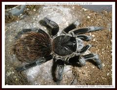 Sericopelma rubronitens (moose9900) Tags: spider spiders arachnid tarantula arachnids tarantulas bigspiders largespiders sericopelmarubronitens panamaredrump moose9