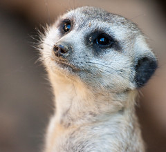 Will you love me? (San Diego Shooter) Tags: wallpaper meerkat sandiego sandiegozoo desktopwallpaper meerkats sandiegodesktopwallpaper