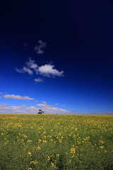 Canola Field 2/  2 (kth517) Tags: spring australia  1022mm yellowflowers    canolafield bellarinepeninsula victoriastate