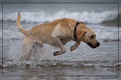 Pounding Through The Waves (The Pixel and Eye) Tags: uk sea beach water sand lab labrador waves goldenlab yorkshire canine bracken masongoldenboy
