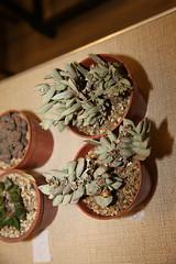 Schwantesia loeschiana (front) & Hartmanthus pergamentaceus (back)