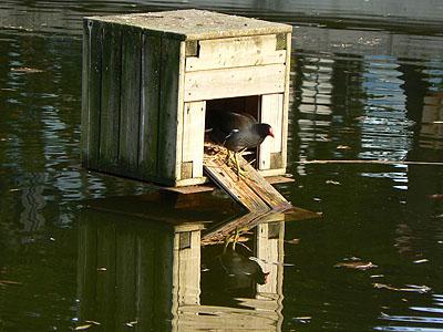 poule d'eau à Bercy.jpg
