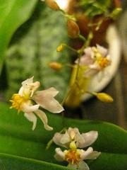 oncidium twinkle (mindbum) Tags: orchid twinkle oncidium