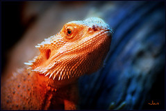 BORN TO BE WILD (brynmeillion - JAN) Tags: fab bigmouth bravo reptile wildlife soe borntobewild naturesfinest topshots specanimal abigfave nikond80 anawesomeshot natureselegantshots thebestofmimamorsgroups peregrino27newvision