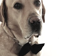 Dressed up (dangeri.away) Tags: dog chien love loving labrador adorable perro athome doc doggie perrito musetto loveatfirstsight petlover xoxoxoxoxo thelittledoglaughed heismylove belovedfriend doggielife miocucciolo heismyangel canonpowershotsx1is iadorethisseriousexpression ourdailylife myyellowlabrador hehasanadorablesnout