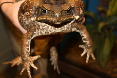 cane toad, and toxic (nereis*01*) Tags: brown toxic closeup amphibian toads toad amphibians canetoad canetoads