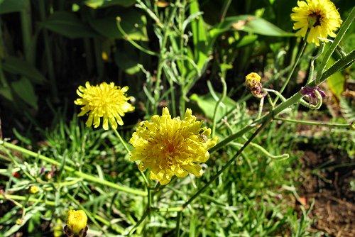 Sonchus ustulatus ssp. ustulatus (rq) - 02