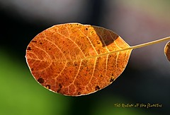 traces of life-FP (NURAY YUZBASI) Tags: autumn light brown macro green fall texture canon turkey grey leaf dof vessel 100mm explore usm frontpage ankara f28 ef doku hazan k sonbahar yaprak damar gz izleri hayatn 100commentgroup saariysqualitypictures onfrontpage vakuol parankima