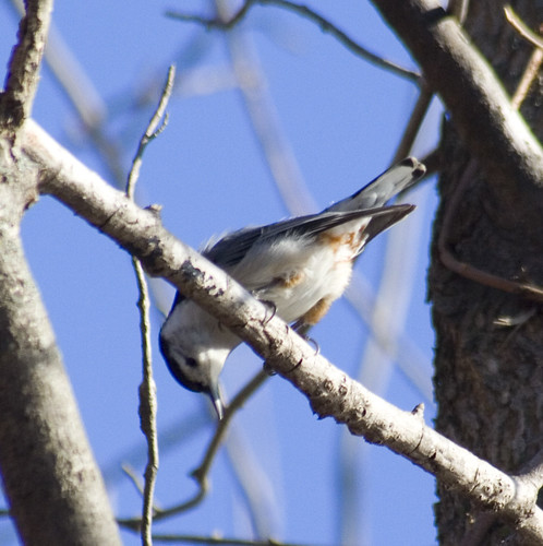 white-breasted nuthatch_1