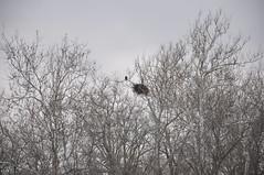 Bald Eagle (Ed Lamaze) Tags: baldeagle eaglesnest december2009