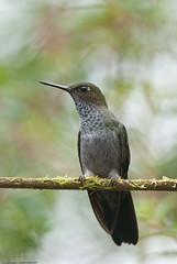 Hoary Puffleg (Keefee) Tags: birds ecuador hummingbirds rarebird fbwnewbird fbwadded hoarypuffleg haplophaedialugens reservalasgralerias bykeithbowers
