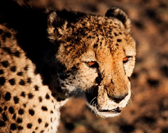 Cheetah (Colognid) Tags: africa sunset eye film animal analog eyes kodak wildlife tiger slide safari bigcat killer afrika glowing cheetah hunter katze analogue augen predator wildcat namibia kalahari chita hunt tier jagd glowingeyes bigfive nikonf80 catofprey gepard 200mm raubkatze realphotograph jger guepardo acinonyx jachtluipaard jubatus raubtier ghepardo kodakelitechromeextracolour100 eyesofdeath sigma70300mmf4556 flickrbigcats colognid