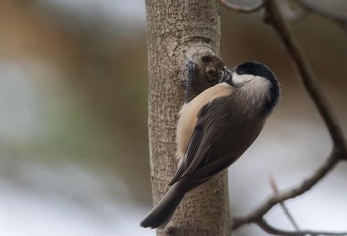 フリー画像| 動物写真| 鳥類| 野鳥| カロライナコガラ|       フリー素材|
