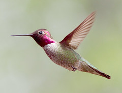 The Good Life (sedonakin) Tags: pink arizona southwest bird nature canon wings hummingbird wildlife flight fuschia birdsinflight avian oakcreekcanyon annashummingbird hotpink calypteanna calypte greenbird arizonabirds arizonawildlife avianphotography southwesternbirds julielake