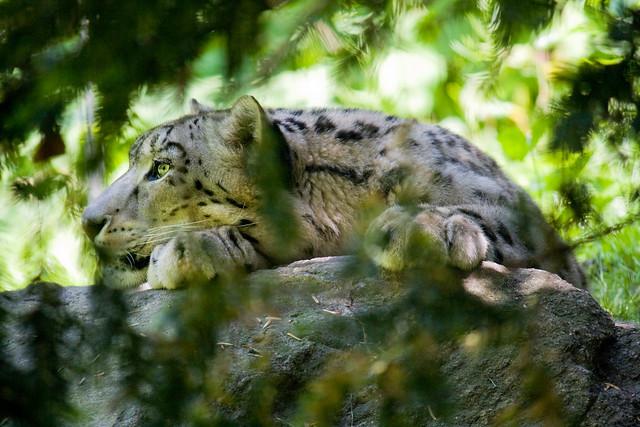 Snow leopard, Bronx Zoo