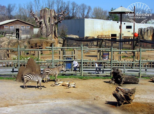 Zebras and Elephant Yard Knoxville Zoo with watermark
