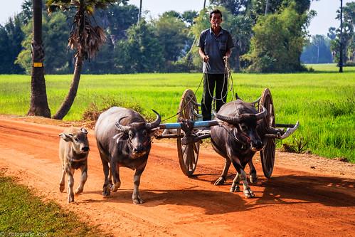 159 Cambodja,  Seam Riep Province, Puok, water buffalo cart