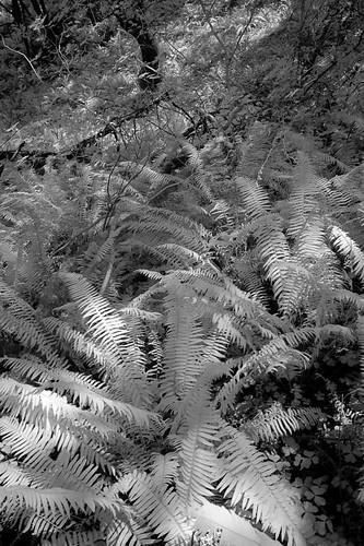 ferns, Humbug Mountain State Park