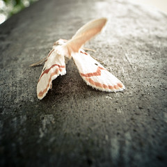 Moth, not Mothra (jacob schere [in the 03 strategically planning]) Tags: macro up japan closeup bug insect square tokyo dof close bokeh jacob moth communication chiba lucid ichikawa 下町 schere 千葉 grii 市川 jacobschere lucidcommunication 市川 千葉 下町 市川 千葉 下町