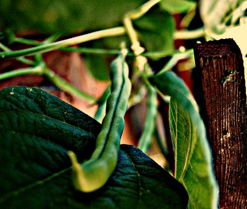 growing_bean