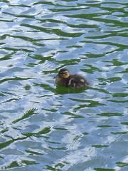 Helston duckie