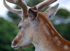 200/366-1. Battle scar (roseyhadlow) Tags: deer knole abigfave tornear cherryontopphotography damniwishidtakenthat project36612009