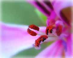 """For every beauty there is an eye somewhere to see it"""" (ANGELA.Clik.Flickr) Tags: pink flower macro aplusphoto"""