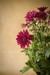 (Joyce Vincent) Tags: pink stilllife brown flower green daisies gerber